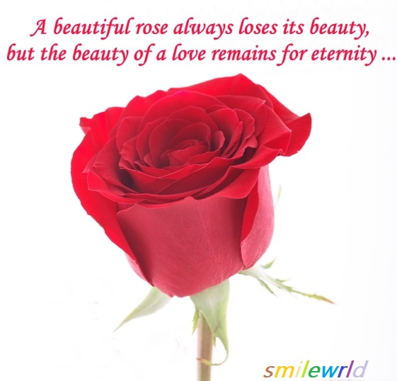 A beautiful rose....
