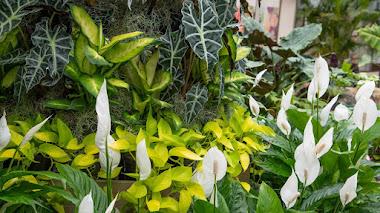 Aráceas como plantas de interior, deseadas por su exótico follaje (y por sus flores también)