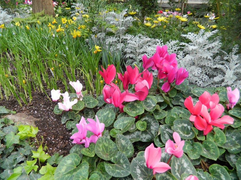 Cyclamens, yellow crocus and daffodils and dusty miller at the Toronto Allan Gardens Conservatory Spring Flower Show 2013 by garden muses: a Toronto gardening blog