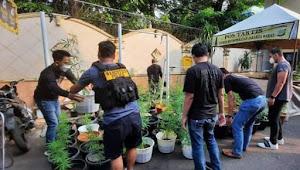 Ditemukan ratusan tanaman Ganja Hidroponik, satu rumah di Brebes di grebek