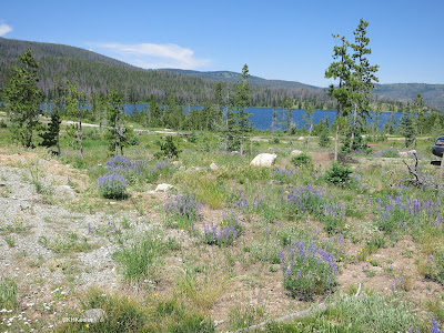 lupines in Snowy Range, Wyoming