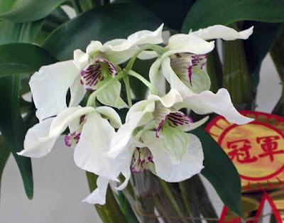 Dendrobium rhodostictum care and culture