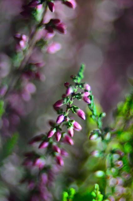 makro | wrzosy | kwiaty