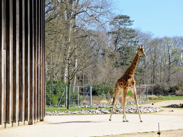 Things to do in Lyon France in 3 days: Giraffe at Lyon Zoo in Le Parc de la Tête d'Or