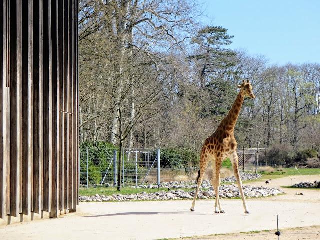 Things to do in Lyon France in 3 days: Giraffe at Lyon Zoo in Le Parc de la Tête d'Or