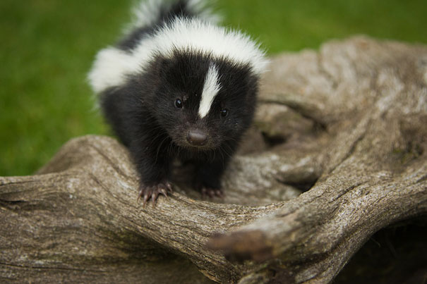 Baby Animals: Baby Skunk