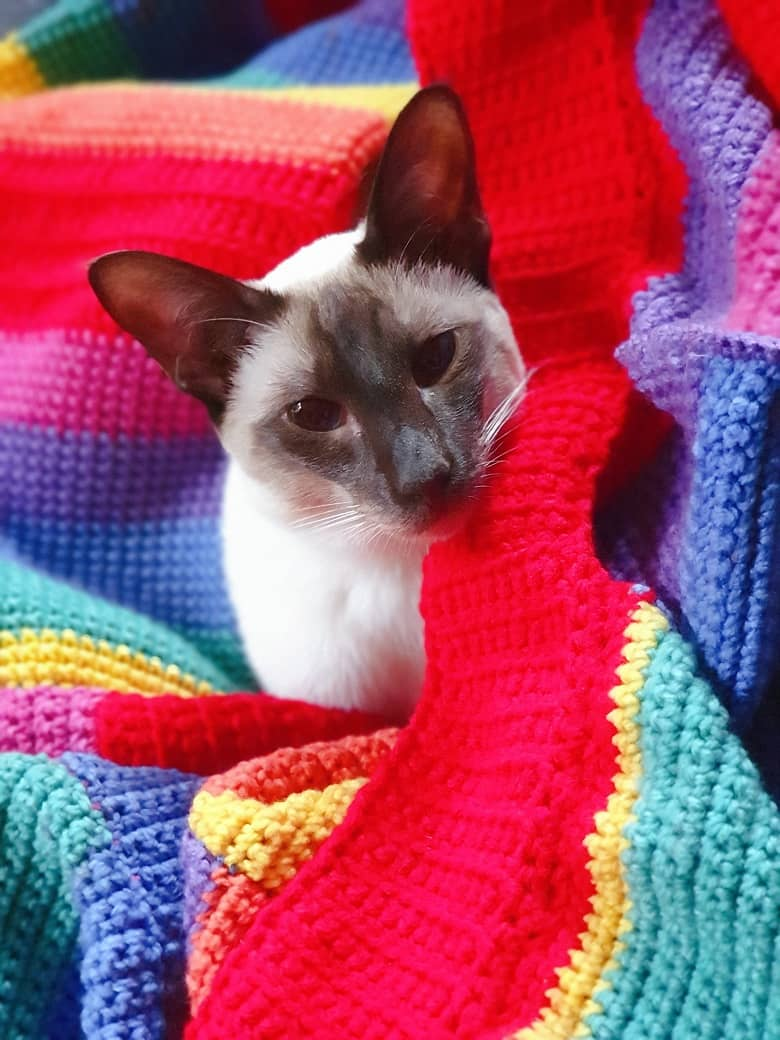 a picture of a Siamese cat sitting on a rainbow colored crocheted jumper