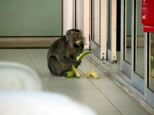 Affe mit Bananen auf Borneo