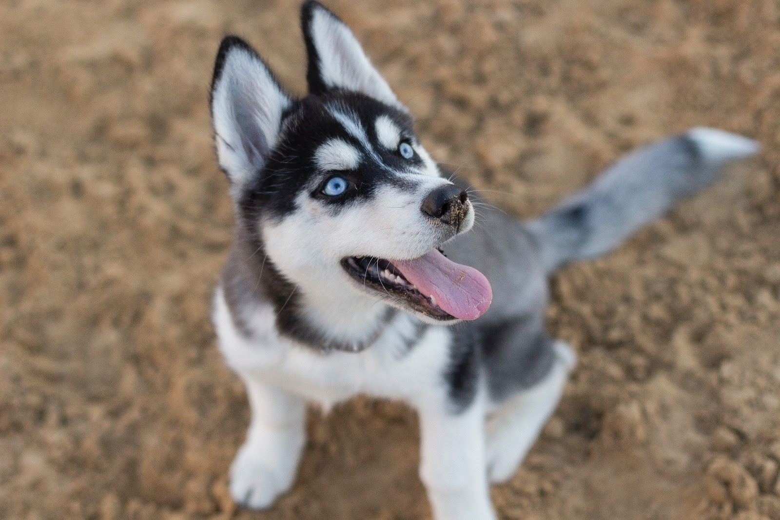 photo-of-siberian-husky-puppy-images-dog