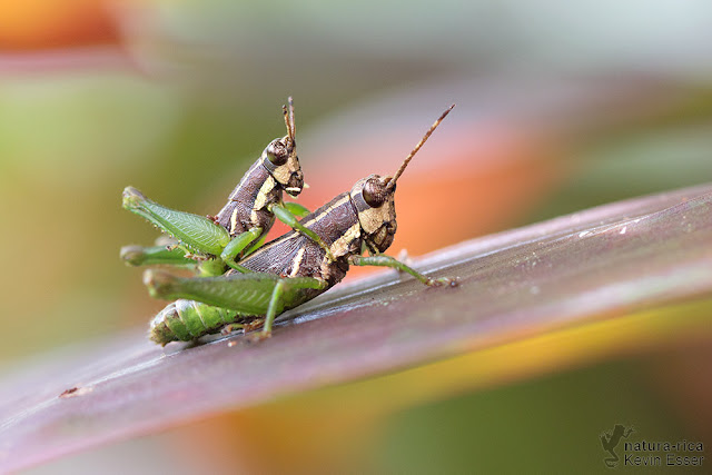 Mating Grasshopper