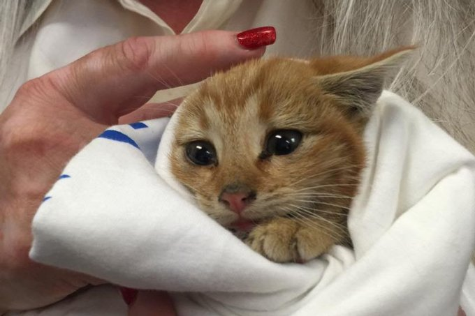 Tiny little ginger kitten was heard crying in dumpster. Thankfully, a couple came to its rescue