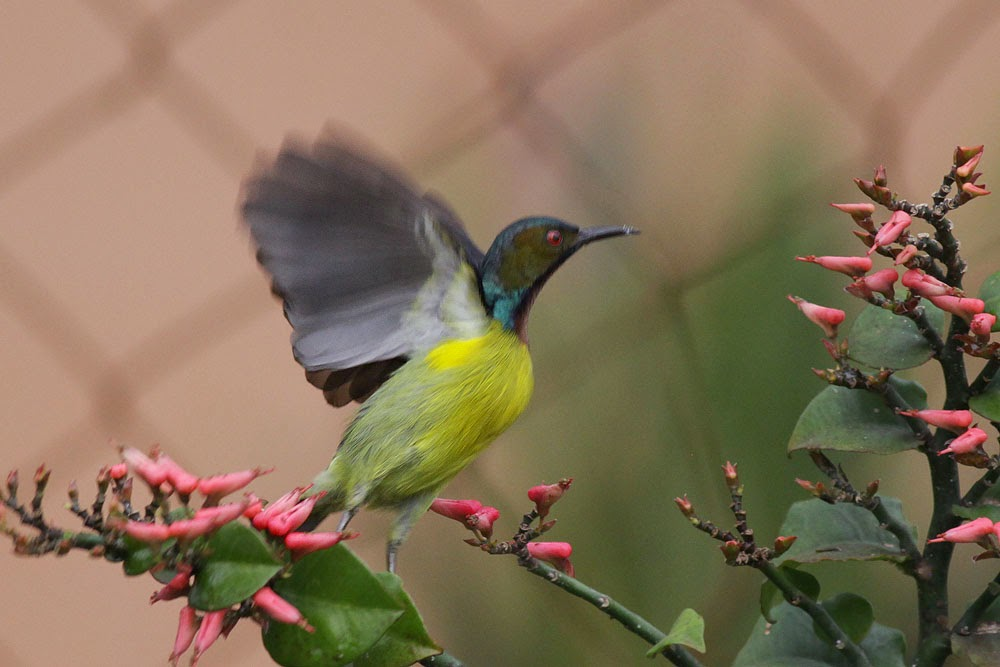 Birding during flood -Sunbird