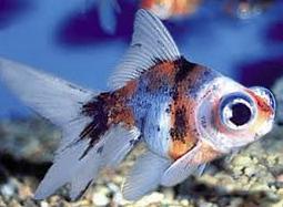 Inilah Jenis Ikan Koki Beserta Gambar Ikan Koki telescope eye