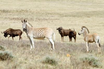 South Africa revives 'extinct' zebra subspecies