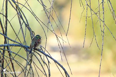 Macho de escribano soteño (Emberiza cirlus). En etsa especie las hembras y los macho son muy similares son la salvedad de que los colores de las plumas en los machos son mucho más vivos y llamativos.