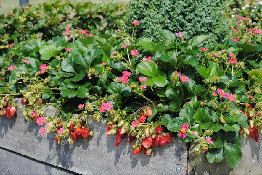 Bibit Tanaman Strawberry Merlan Berbuah Pangkalpinang