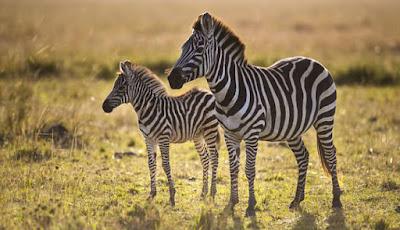 Kuda Zebra Ternyata Bisa Jadi Pemicu Migrain, Bagaimana Bisa?