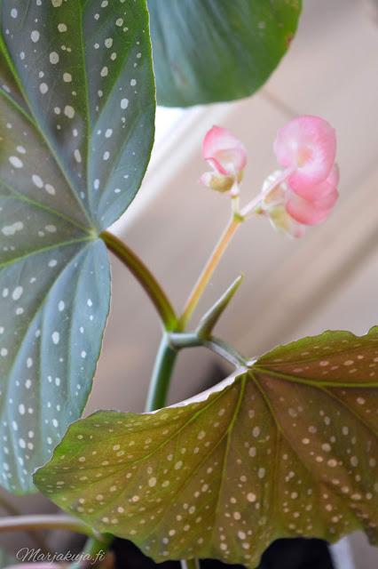 olohuone vaalea sisustus olohuoneen sisustus huonekasvit enkelinsiipiviherkasvit