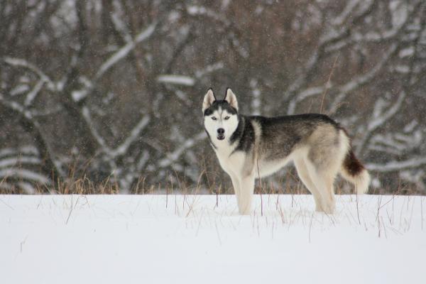 siberian husky puppy breeders: Tips on Raising Siberian Husky