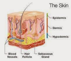 bőr, szerkezete, felszíne, faggyú, ph,