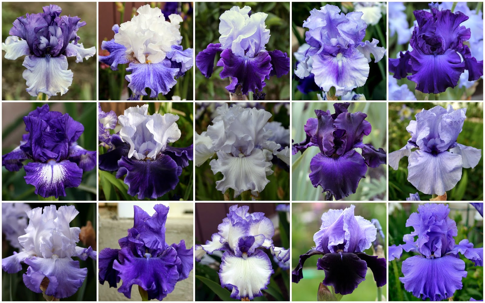 World of irises talking irises the blue iris garden planting a to achieve a maximum focal impact ive used a wide variety of selfs plicatas and neglectas although many cultivars in the bed are older varieties izmirmasajfo Gallery