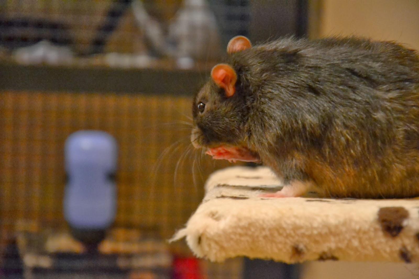 Das Große Ratten Abc V Wie Vorurteile