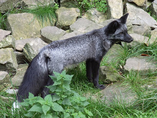 Silver Fox - from Wikipedia