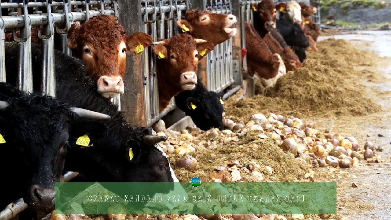 Syarat Kandang yang Baik Untuk Ternak Sapi
