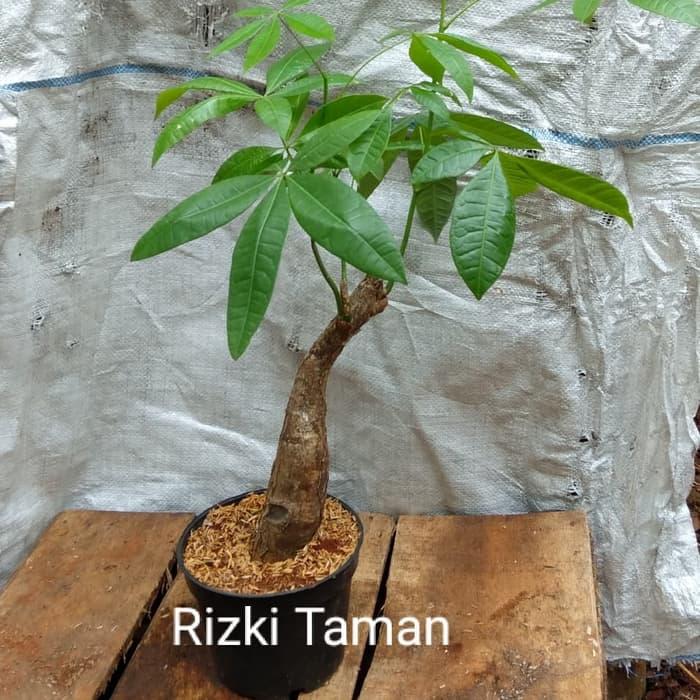 Jual pohon Pachira aquatica Biasa disebut money tree atau