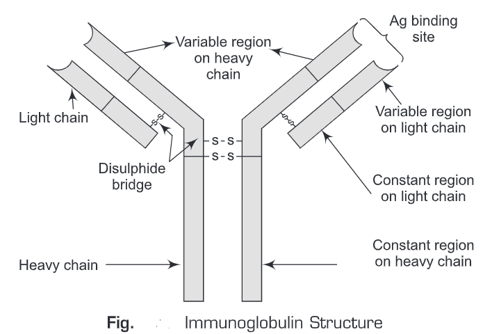 Immunoglobulins: Structure, Types, Class and Antigenic Determinants