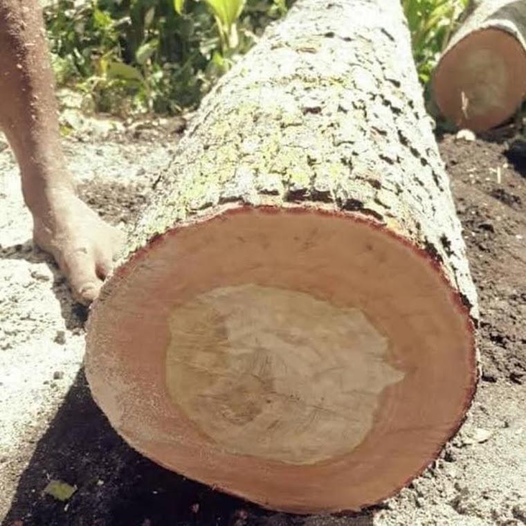 Hrv Bibit Pohon Kayu Cendana Bali Tanaman Cendana Kupang