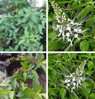 Kandungan serta manfaat tanaman kumis kucing bagi kesehatan