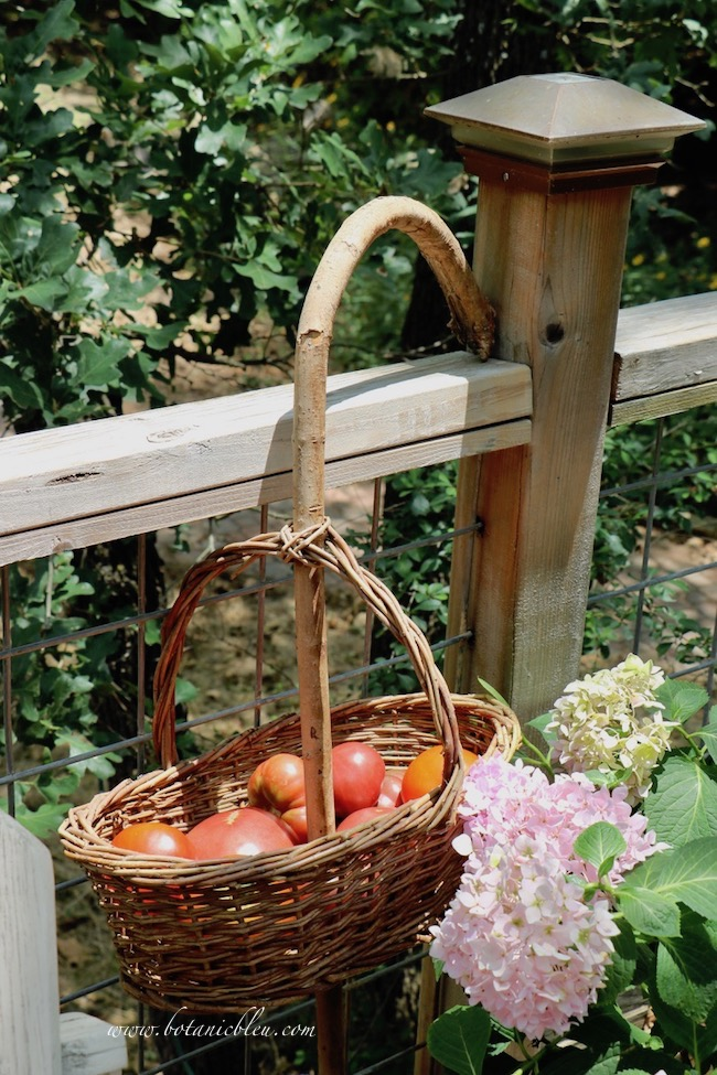 A harvesting basket with a crooked handle makes picking and transporting home grown tomatoes easy