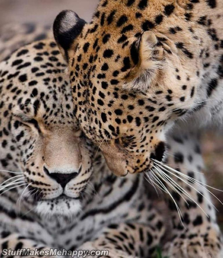 3. Big kitties also show tenderness