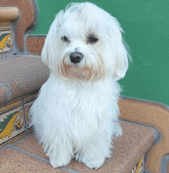 perro maltés