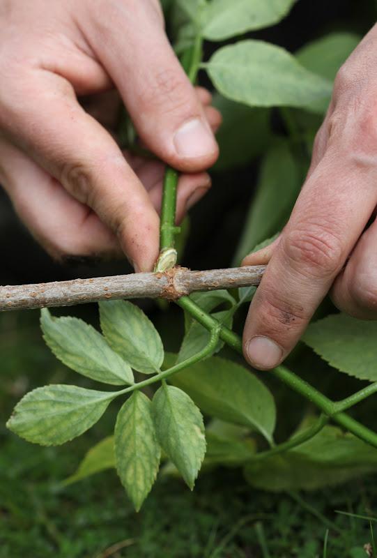 Avlegger rhododendron