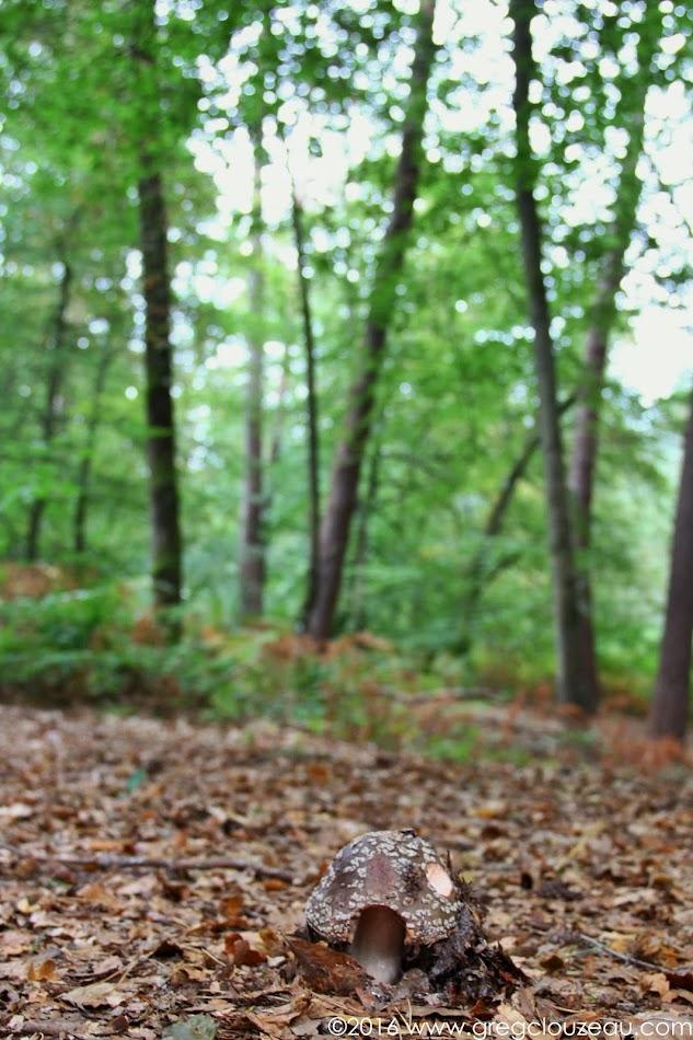 Amanite, Forêt de Fontainebleau, (C) Greg Clouzeau