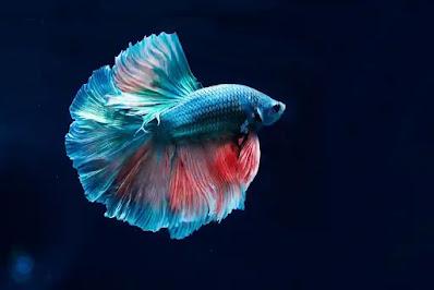 السمك في المنام للأمام الصادق