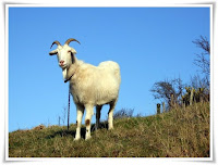 Goat Animal Pictures