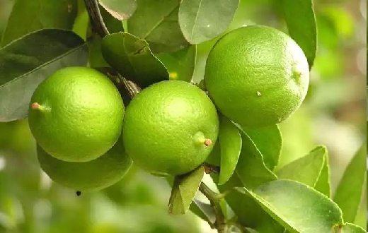 Kandungan jeruk nipis berupa vitamin C, vitamin B1, asam sitrat dan minyak atsiri alami dari tumbuhan inilah yang berkhasiat mengatasi kadar asam urat dalam darah.