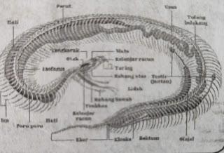 organ pernapasan ular