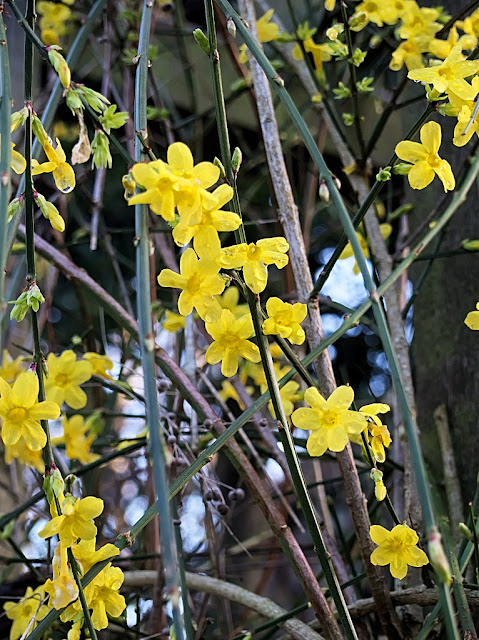 Close up of sprays of winter jasmine