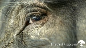 The Last Pig - A Documentary