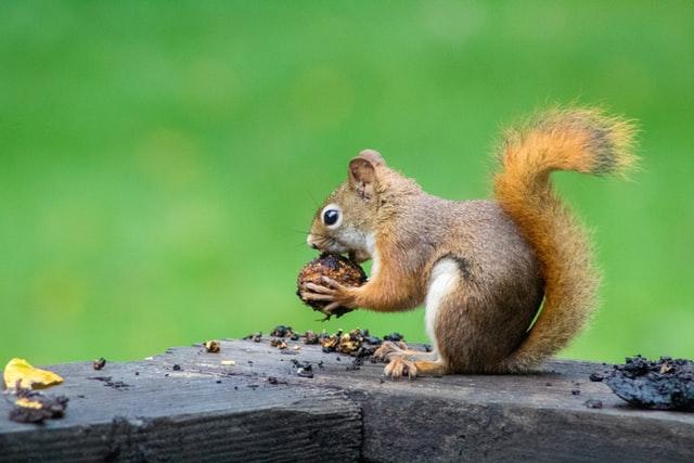 aprende ingles animal squirrel ardilla come bellota en parque