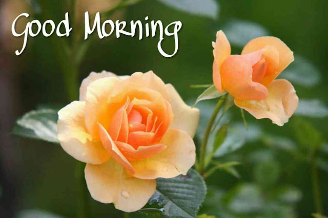 Beautiful good morning images , pics and photos of orange rose flowers download