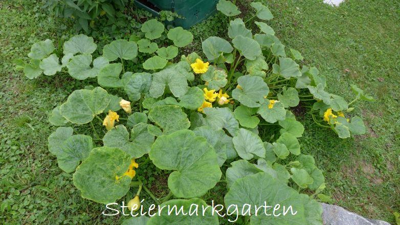 Kürbispflanze-Steiermarkgarten