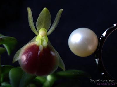 Orquídea Epidendrum peperomia