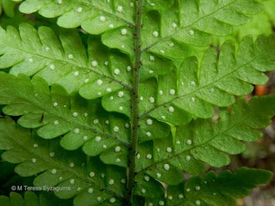 Pesebre (Megalastrum spectabile)