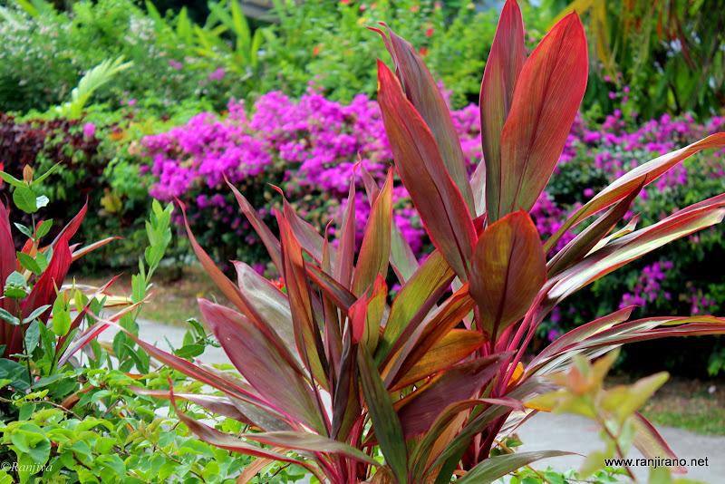 Au hasard des balades parmi les dracaenas plantes - Noms de fleurs et plantes ...
