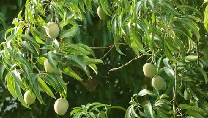 Ciri-Ciri Pohon Mangga